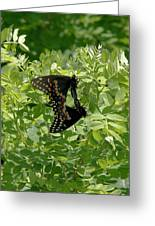 Black Swallowtails Mating Greeting Card