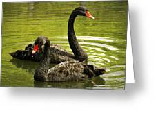 Black Swans Greeting Card by Jacqui Collett