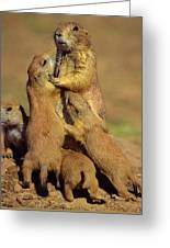 Black-tailed Prairie Dogs Greeting Card