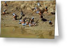 Black-throated Finches At Waterhole Greeting Card