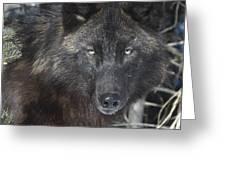 Black Timber Wolf Greeting Card