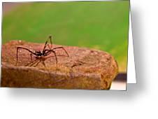 Black Widow Spider Male Greeting Card by Douglas Barnett