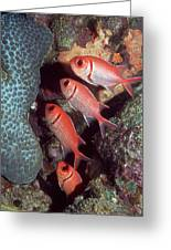 Blackbar Soldierfish Greeting Card