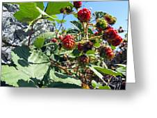 Blackberry On The Rock 03 Greeting Card