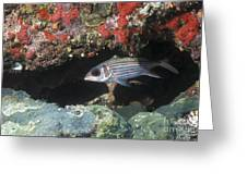 Blackfin Squirrelfish Swimming Greeting Card