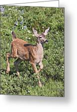 Blacktail Fawn Greeting Card