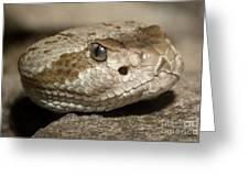 Blacktail Rattlesnake Greeting Card