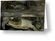 Blandings Swimming Turtle Greeting Card