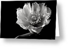 Blind Prickly Pear Cactus In Black And White Greeting Card