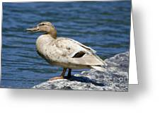 Blond Duck Greeting Card