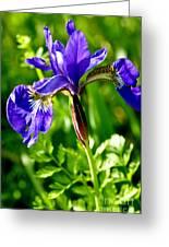 Blood Iris Greeting Card