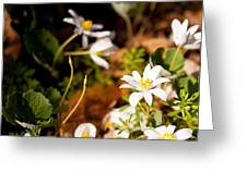 Bloodroot And Spring In The Woodland Greeting Card