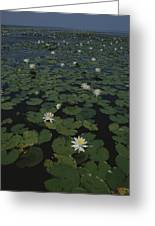 Blooming Water Lilies Fill A Body Greeting Card