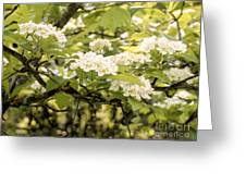 Blossoming Hawthorn Tree Greeting Card