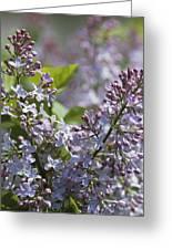 Blossoming Hyacinthiflora Lilacs Greeting Card