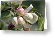 Blossoms And Buds Greeting Card