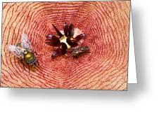 Blowflies On Stapelia Greeting Card