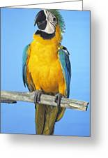 Blue-and-gold Macaw Greeting Card