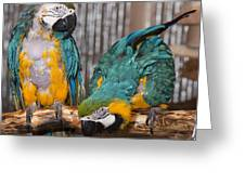 Blue And Gold Macaw Pair Greeting Card