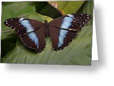 Blue Banded Morpho Greeting Card