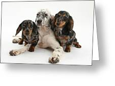 Blue Belton Setter And Dachshund Pups Greeting Card