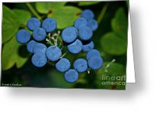 Blue Cohosh Greeting Card