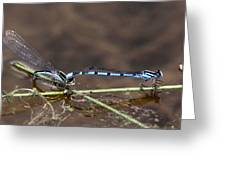 Blue Damsel Greeting Card