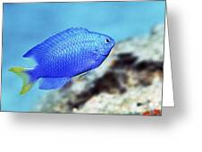 Blue Damselfish Greeting Card