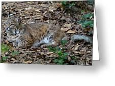 Blue Eyed Male Bobcat Greeting Card