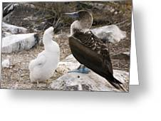 Blue-footed Booby Mother And Chick Greeting Card
