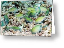 Blue-green Chromis On A Reef Greeting Card