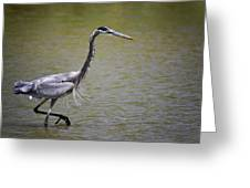 Blue Heron On The Hunt  Greeting Card