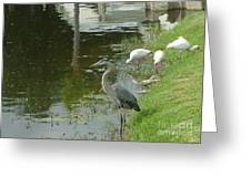 Blue Heron With Ibis Greeting Card