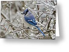 Blue Jay - D003568 Greeting Card