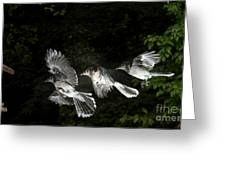 Blue Jay In Flight Greeting Card