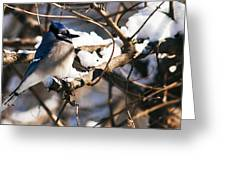 Blue Jay Staying Warm Greeting Card
