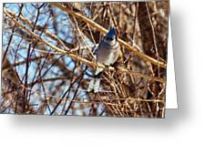 Blue Jay Thinking Greeting Card