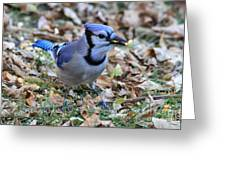 Blue Jay With A Piece Of Corn In Its Mouth Greeting Card