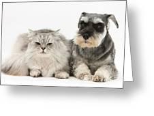 Blue-point Kitten & Miniature Schnauzer Greeting Card