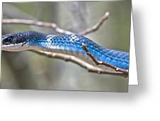 Blue Racer Snake Greeting Card by Jeramie Curtice