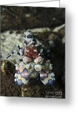Blue Spotted Harlequin Shrimp, Bali Greeting Card