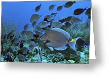 Blue Tang Surgeonfish Greeting Card by Georgette Douwma