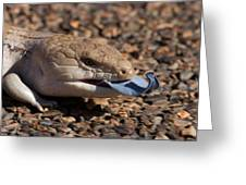 Blue Tongue Lizzard On Gravel Road Greeting Card