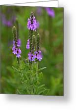 Blue Vervain Greeting Card