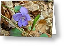 Blue Violet Wildflower - Viola Spp Greeting Card