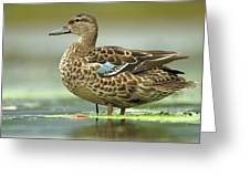 Blue-winged Teal Anas Discors Female Greeting Card