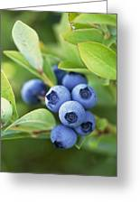 Blueberries Growing On A Shrub Greeting Card