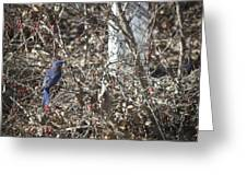 Bluebird In Barberries Squared Greeting Card