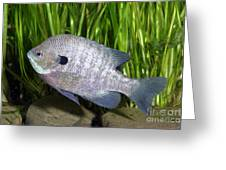 Bluegill Lepomis Macrochirus Greeting Card