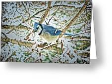 Bluejay In Birches Greeting Card